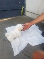 Mal-Shi Puppies for sale in Buena Park, CA, USA. price: NA