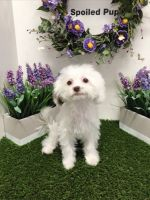 Mal-Shi Puppies for sale in Las Vegas, NV 89178, USA. price: NA