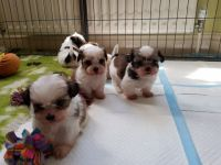 Mal-Shi Puppies for sale in Indianapolis, IN, USA. price: NA