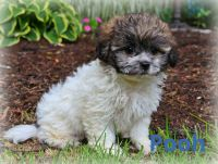 Mal-Shi Puppies for sale in Millersburg, OH 44654, USA. price: NA