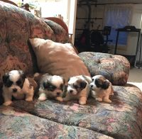 Mal-Shi Puppies for sale in Sylva, NC 28779, USA. price: NA