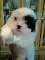 Mal-Shi Puppies for sale in Downey, CA, USA. price: NA