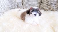 Mal-Shi Puppies for sale in Thousand Oaks, CA, USA. price: NA