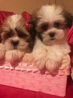 Mal-Shi Puppies for sale in West Bloomfield Township, MI, USA. price: NA