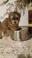 Mal-Shi Puppies for sale in Greenville, NC, USA. price: NA