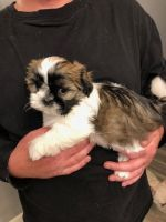 Mal-Shi Puppies for sale in Edgewater, MD 21037, USA. price: NA