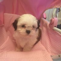 Mal-Shi Puppies for sale in Montgomery, IL, USA. price: NA