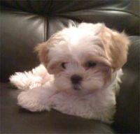 Mal-Shi Puppies for sale in Sacramento, CA, USA. price: NA
