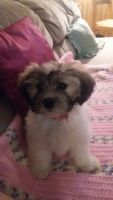 Mal-Shi Puppies for sale in Paw Paw, MI 49079, USA. price: NA