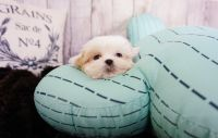 Mal-Shi Puppies for sale in Las Vegas, NV 89113, USA. price: NA