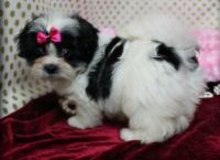 Mal-Shi Puppies for sale in Caldwell, ID 83605, USA. price: NA