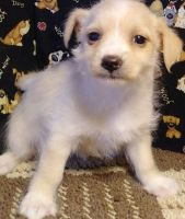 Mal-Shi Puppies for sale in Jackson, MS, USA. price: NA