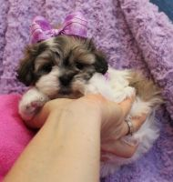 Mal-Shi Puppies for sale in Alabaster, AL, USA. price: NA