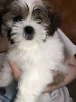 Mal-Shi Puppies for sale in Tampa, FL, USA. price: NA