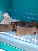 Mal-Shi Puppies for sale in Fischer, TX 78623, USA. price: NA
