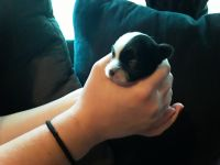 Mal-Shi Puppies for sale in Warrensburg, MO 64093, USA. price: NA