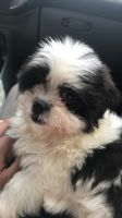 Mal-Shi Puppies for sale in Fireside Dr, Dallas, TX 75217, USA. price: NA