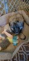 Mal-Shi Puppies for sale in Wise County, VA, USA. price: NA