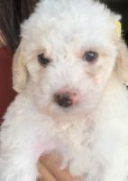 Mal-Shi Puppies for sale in Tucson, AZ, USA. price: NA