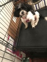 Mal-Shi Puppies for sale in Stockbridge, GA, USA. price: NA