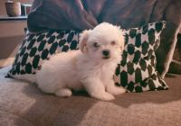 Mal-Shi Puppies for sale in Pinellas Park, FL, USA. price: NA