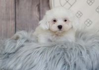Mal-Shi Puppies for sale in Orange County, CA, USA. price: NA