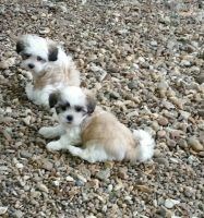 Mal-Shi Puppies for sale in Wayland, MO 63472, USA. price: NA