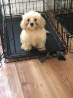Mal-Shi Puppies for sale in Collegedale, TN 37363, USA. price: NA