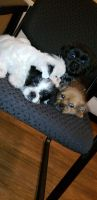 Mal-Shi Puppies for sale in Memphis, TN, USA. price: NA