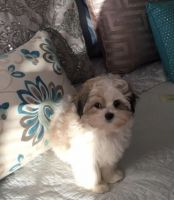 Mal-Shi Puppies for sale in Woodbine, MD 21797, USA. price: NA