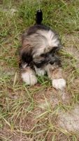 Mal-Shi Puppies for sale in Auburndale, FL, USA. price: NA