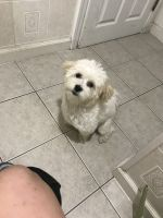 Mal-Shi Puppies for sale in Sterling Heights, MI 48312, USA. price: NA