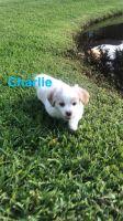 Mal-Shi Puppies for sale in Merritt Island, FL, USA. price: NA