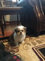Mal-Shi Puppies for sale in Merrionette Park, IL, USA. price: NA