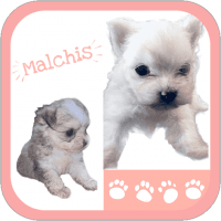 Mal-Shi Puppies for sale in TX-78, Dallas, TX, USA. price: NA