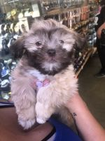 Mal-Shi Puppies for sale in Hayward, CA, USA. price: NA