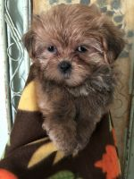 Mal-Shi Puppies for sale in 27 Cynthia St, Westwego, LA 70094, USA. price: NA