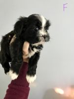 Mal-Shi Puppies for sale in Whiteland, IN 46184, USA. price: NA