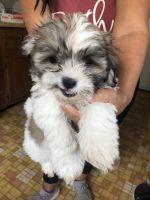 Mal-Shi Puppies for sale in 4801 Glenoak Rd, Hyattsville, MD 20784, USA. price: NA