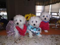 Mal-Shi Puppies for sale in Alsip, IL, USA. price: NA