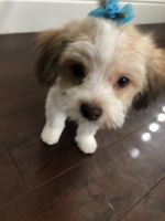 Mal-Shi Puppies for sale in Las Vegas, NV, USA. price: NA