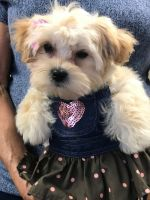 Mal-Shi Puppies for sale in Dallas, TX, USA. price: NA