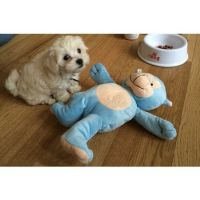 Mal-Shi Puppies for sale in Portsmouth, VA, USA. price: NA
