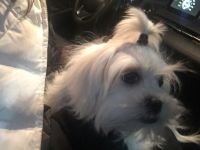 Mal-Shi Puppies for sale in White Marsh, MD, USA. price: NA