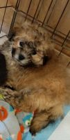Mal-Shi Puppies for sale in Bowman Ave, Bowman, SC 29018, USA. price: NA