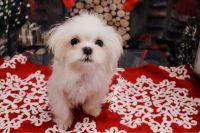Mal-Shi Puppies Photos