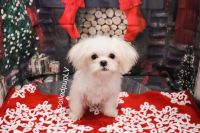 Mal-Shi Puppies for sale in Las Vegas, NV 89139, USA. price: NA