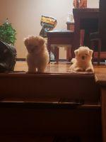 Mal-Shi Puppies for sale in 15214 Blackstone Ave, Dolton, IL 60419, USA. price: NA