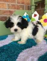 Mal-Shi Puppies for sale in Seattle, WA, USA. price: NA
