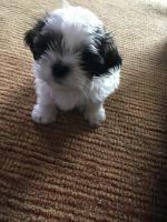 Mal-Shi Puppies for sale in Warren, MI, USA. price: NA